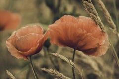Amapolas Fotos de archivo