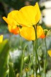 Amapolas amarillas Foto de archivo libre de regalías