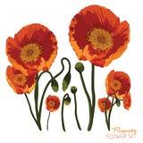 Amapolas anaranjadas brillantes ilustración del vector