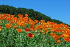 Amapolas anaranjadas brillantes (Papaveroideae) Imagen de archivo