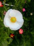 Amapolas blancas Fotografía de archivo