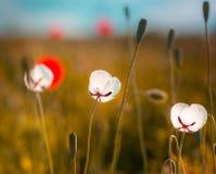Amapolas blancas en el campo Foto de archivo libre de regalías