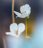 Amapolas blancas en el campo Imagen de archivo