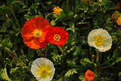 Amapolas coloridas Imagenes de archivo