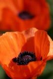 Amapolas coloridas en la plena floración imagenes de archivo