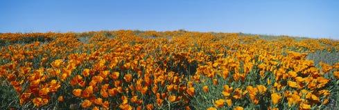 Amapolas de California imagen de archivo libre de regalías