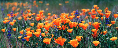 Amapolas de California Fotos de archivo