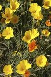 Amapolas de California Foto de archivo