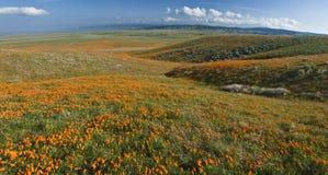 Amapolas de California Imagenes de archivo