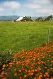 Amapolas de California al lado del campo con el granero rojo Imagen de archivo libre de regalías