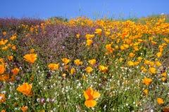 Amapolas de California en la floraci?n estupenda fotografía de archivo