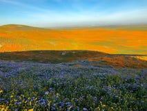 Amapolas de California fotografía de archivo libre de regalías