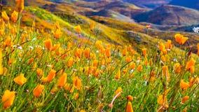 Amapolas de California que florecen en Walker Canyon durante el superbloom, lago Elsinore, California del sur imagen de archivo