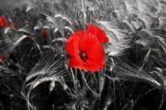 Amapolas de campo rojas Imagen de archivo