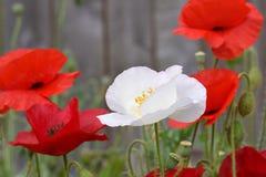 Amapolas 01 de la paz fotografía de archivo libre de regalías