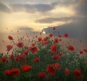Amapolas de la puesta del sol Imagen de archivo