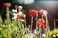 Amapolas de las flores salvajes Imágenes de archivo libres de regalías