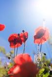 Amapolas de las flores salvajes Foto de archivo libre de regalías