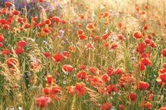 Amapolas de las flores salvajes en un campo con la hierba Fotos de archivo