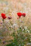 Amapolas de las flores salvajes en un campo con la hierba Imágenes de archivo libres de regalías
