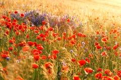 Amapolas de las flores salvajes en un campo con la hierba Fotos de archivo libres de regalías