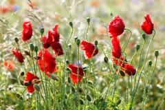 Amapolas de las flores salvajes en un campo con la hierba Foto de archivo libre de regalías
