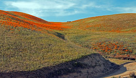Amapolas de oro de California en el alto desierto de California meridional Fotografía de archivo libre de regalías