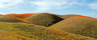 Amapolas de oro de California y sabio púrpura en el alto desierto de California meridional Fotografía de archivo