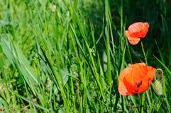 Amapolas del escarlata contra la perspectiva de la hierba verde Foto de archivo libre de regalías