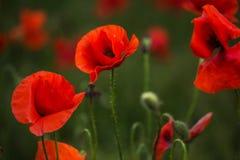 Amapolas del escarlata en la hierba verde que florece en campo Primer Fotos de archivo