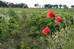 Amapolas del flor por un campo de los granjeros imagen de archivo