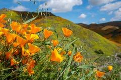 Amapolas del Wildflower en una ladera en Walker Canyon en el lago Elsinore California durante la floración estupenda 2019 fotos de archivo