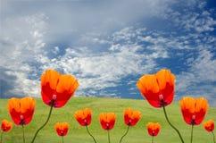 Amapolas e hierba con el cielo Imagen de archivo libre de regalías