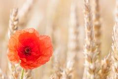Amapolas en campo de trigo Fotografía de archivo libre de regalías