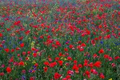 Amapolas en el campo verde Foto de archivo libre de regalías