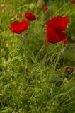 Amapolas en la hierba Fotografía de archivo libre de regalías