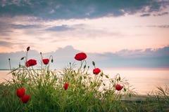 Amapolas en la orilla de mar en la salida del sol Fotografía de archivo libre de regalías