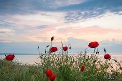 Amapolas en la orilla de mar en la salida del sol Fotografía de archivo