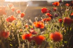 Amapolas en la puesta del sol al día de verano fotos de archivo libres de regalías