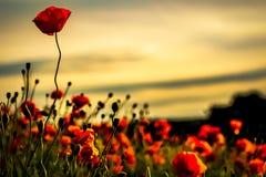 Amapolas en la puesta del sol, beauifully en la floración imagenes de archivo