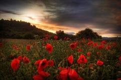 Amapolas en la puesta del sol con las nubes oscuras imagen de archivo
