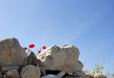 Amapolas en las rocas Imágenes de archivo libres de regalías