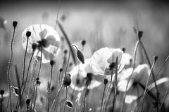 Amapolas en negro y blanco imagen de archivo