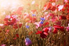 Amapolas en sol Fotografía de archivo libre de regalías