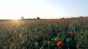 Amapolas en un campo en la puesta del sol almacen de metraje de vídeo