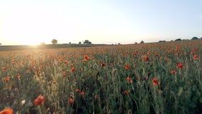 Amapolas en un campo en una tarde del verano almacen de video