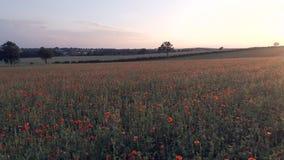 Amapolas en un campo en una tarde del verano metrajes