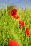Amapolas en un campo verde Imagen de archivo libre de regalías