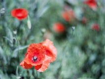 Amapolas en un fondo de la hierba verde Fotografía de archivo libre de regalías