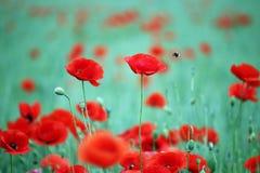 Amapolas flor y abejas Foto de archivo